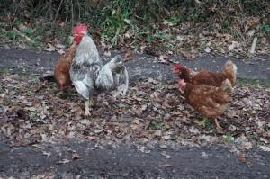 Unsere Hühner auf futtersuche